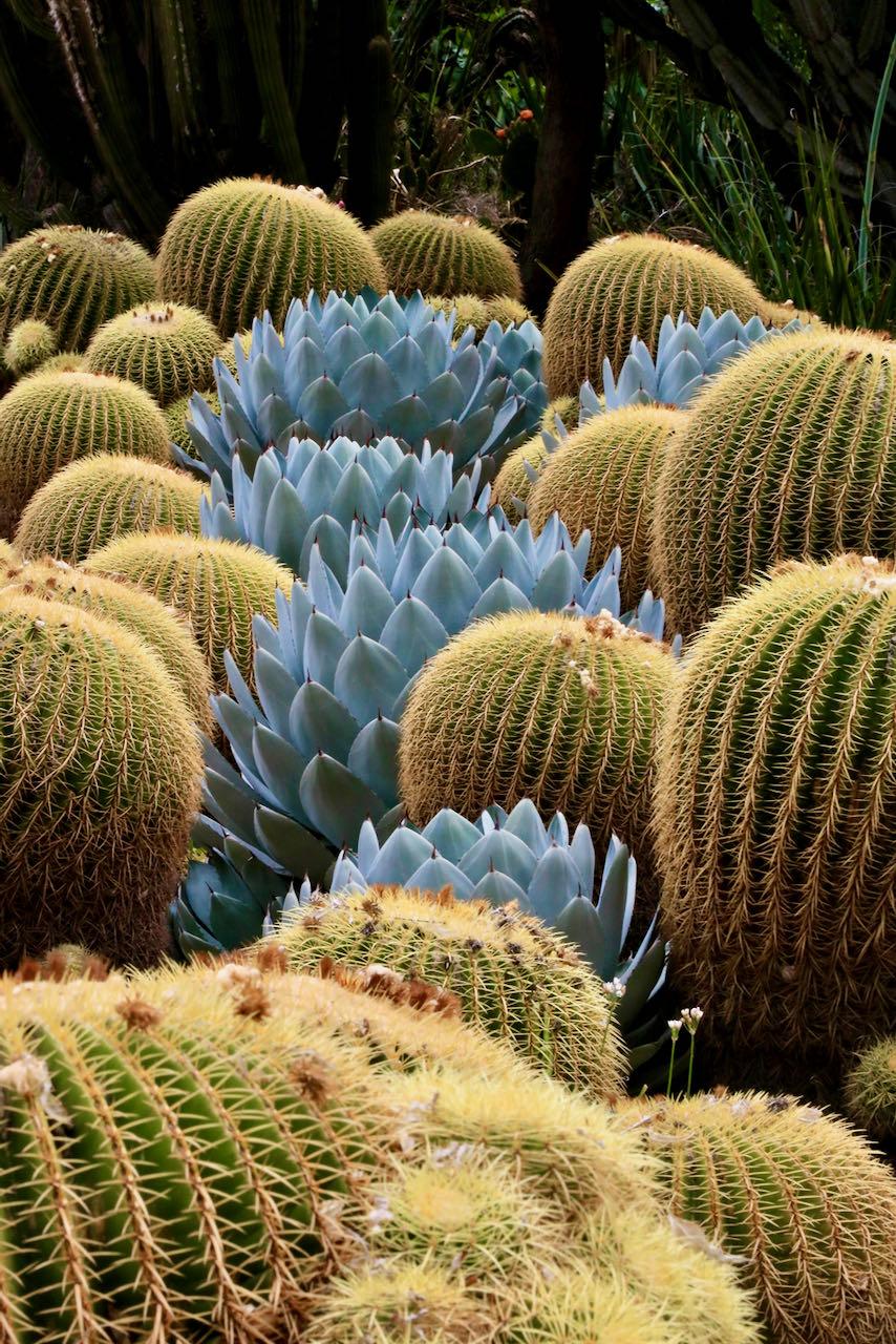 Barrel cactus patch in Huntington BG